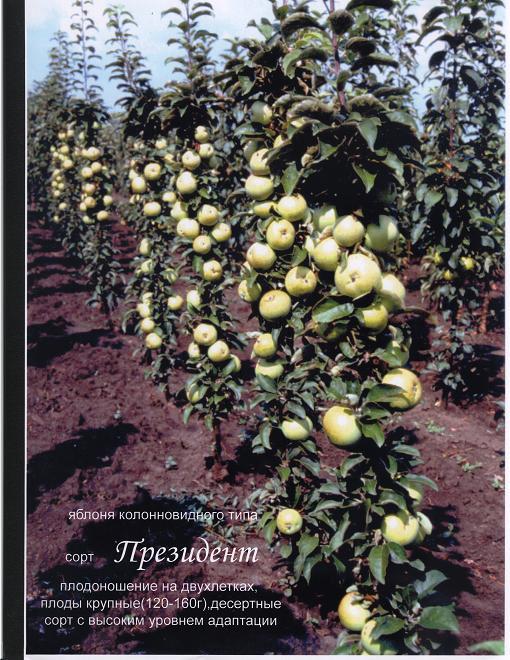 Колоновидные яблони колоновидные