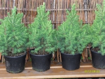 Саженцы хвойных деревьев и растений